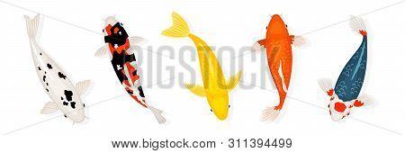 Koi Carp Fishes Vector Illustration. Japanese Koi Fish Isolated On White Background. Colored Carp Fi