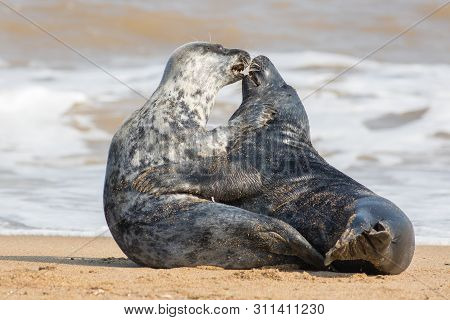 Animals In Love. Wild Seal Lovers Having Sex On The Beach. Passionate Kiss During Sexual Intercourse