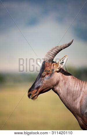 Side profile portrait of an adult topi in the Masai Mara, Kenya.