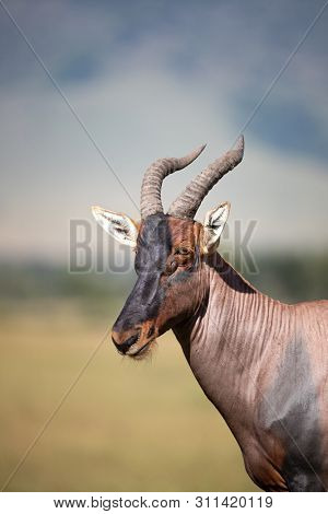Three quater view portrait of an adult topi in the Masai Mara, Kenya.