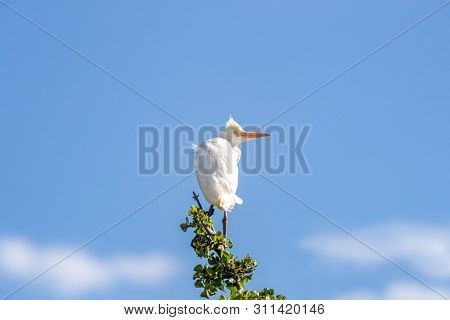 Non-breeding adult  Cattle Egret. which can be identified due to the almost all white plumage, perched on a branch of acacia in the Masai Mara, Kenya. Blue sky background.