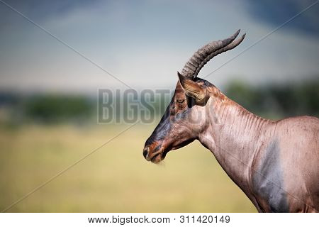Side view of a topi in the Masai Mara, Kenya, with space for your text.