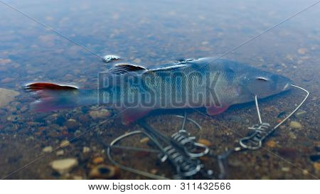 Caught Perch In Fish Stringer  In Clear Water Floats Over The Rocks At The Bottom Sticking Out An Or