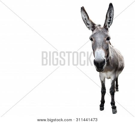 Donkey Full Length Isolated On White. Funny Gray Donkey Standing And Looking Into Camera. Farm Anima