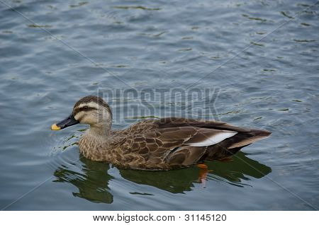 Spot-billed Duck, Anas Poecilorhyncha