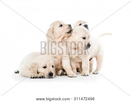 Four cute golden retriever puppies sitting together isolated on white background