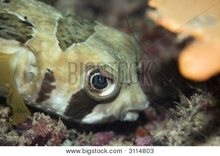 Tropical Fishporcupinefish