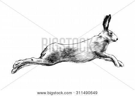 Vector Engraved Style Illustration For Posters, Decoration And Print. Hand Drawn Sketch Of Wild Hare