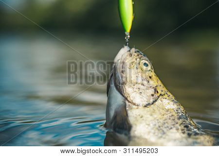 Steelhead Rainbow Trout. Fish Head And Fishing Hook. Brown Trout Being Caught In Fishing Net. Holdin