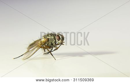 Musca Domestica (house Fly) Macro Photography With White Background