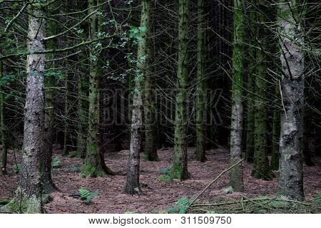 Conifer Tree Trunks And Dark Forest Floor