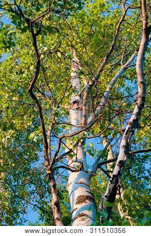 Birch Leaves On Branches, Illuminated By The Evening Sun, Selective Focus, Beautiful Landscape, Natu