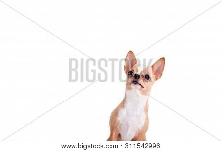 Studio Shot Of Cute Chihuahua Young Puppy Looking Up With Curiosity And Alertness Over White Isolate