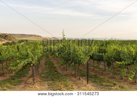 Raimat Vineyard Landscapes With The System Of Irrigation By Dripping Water, At Sunset. Raimat Wines.