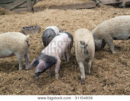 Domestic Pigs
