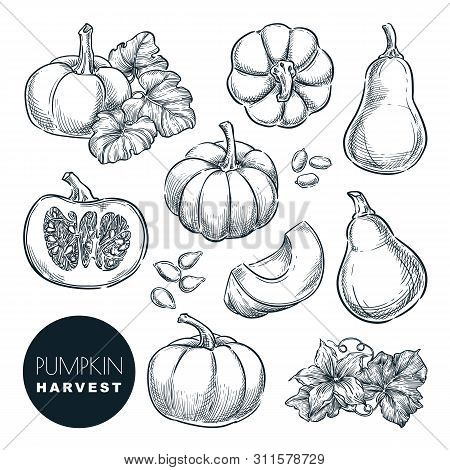 Pumpkins Sketch Vector Illustration. Autumn Gourd Harvest. Hand Drawn Agriculture And Farm Isolated