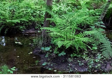 A Small Stream In The Forest And Thickets On The Banks