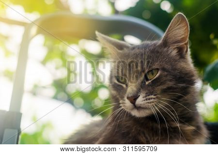 Gray Cute Cat Looks With Contempt And Attention On The Background Of Bokeh. Curiosity And Uncertaint