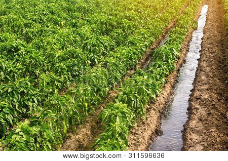 Traditional Watering Pepper Plantations. Farming And Agriculture. Cultivation, Care And Harvesting.
