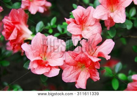 Photos Of Flowers. Pink Flowers. Photos Of Blooming Flowers. Plant Photos. Horizontal Photo Of Flowe