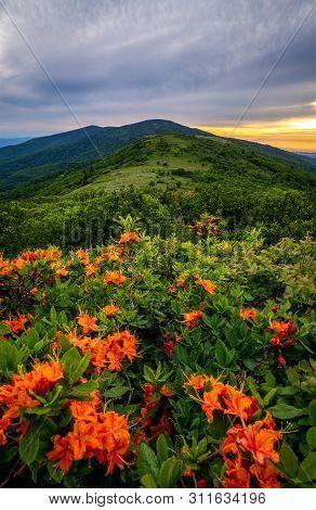 Flame Azalea Bloom At The Roan Highlands Along The Appalachian Trail