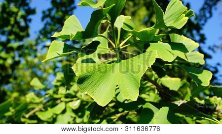 Ginkgo Biloba Branch With Green Fan-shaped  Leaves Close Up. Commonly Known As The Maidenhair Tree,