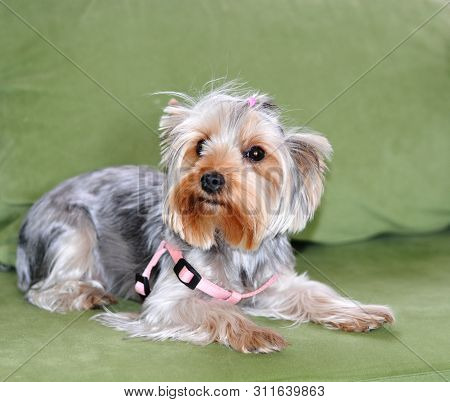 Puppy Of The Yorkshire Terrier, The Dog Is Lying On A Green Sofa, A Large Puppy Portrait, Vertical F