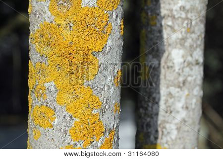 Xanthoria Parietina Lichen Growing On Trunk Of Aspen (Populus Tremula) Tree.