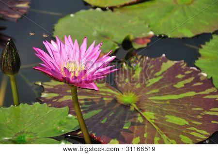 Pink Color Lotus Blooming