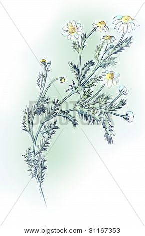 Camomile. Drawing pencils.