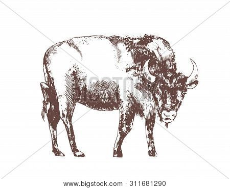 European Bison Hand Drawn With Contour Lines On White Background. Monochrome Sketch Drawing Of Bovin