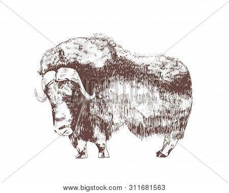 Muskox Hand Drawn With Contour Lines On White Background. Monochrome Sketch Drawing Of Herbivorous H