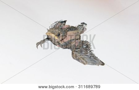 Close Up Of A Baby Humming Bird Sitting On White Sheet,white Background.baby Humming Bird Trying To
