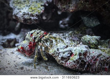 Crab In The Shell. Cancer Hermit Crawling On The Rocks. Macro Shot Of A Hairy Hermit Crab Underwater