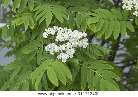 Sorbus Aucuparia - Flowers Rowan. White Flowers Of The Rowan Tree.
