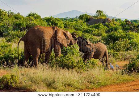 An Elephant And His Little. One In A Walk In The Savanna Of The Park Samburu In Kenya