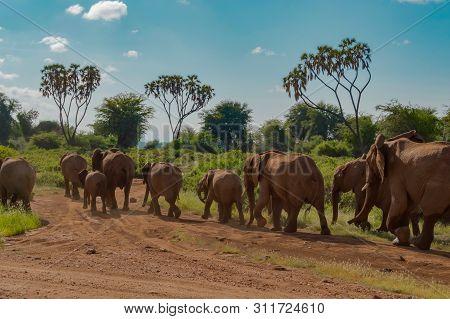 Herd Elephants In The Savannah Of Samburu Park In Central Kenya