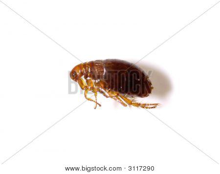 Dead Flea