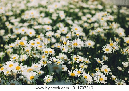 Flowering Of Daisies. Oxeye Daisy, Leucanthemum Vulgare, Daisies, Common Daisy, Dog Daisy, Moon Dais