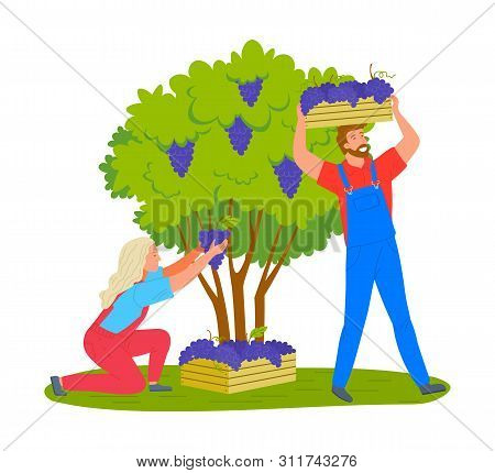 Man And Woman Gathering Grapes On Vineyard Plantation Isolated Cartoon People. Vector Viticulture An