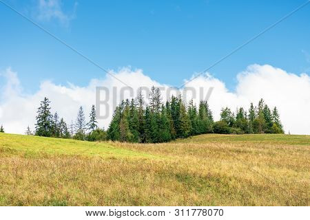 Spruce Forest On The Hill. Beautiful Countryside Scenery In Early Autumn. Weathered Grass On The Mea
