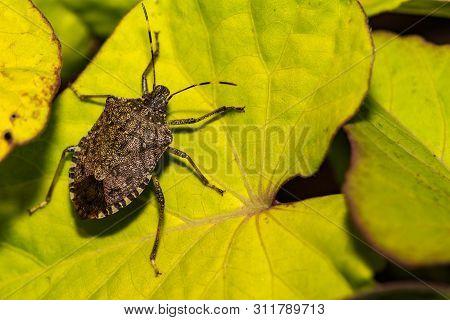 Adult Brown Marmorated Stink Bug (halyomorpha Halys)
