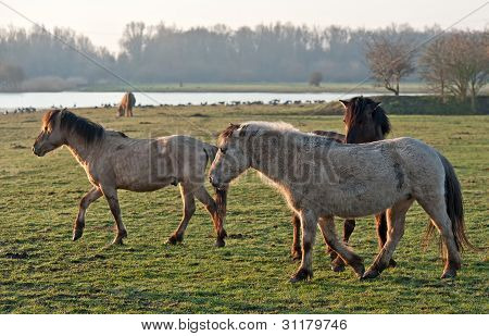 Wild horses in the light of dawn poster