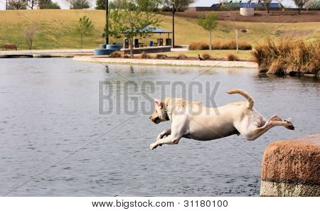 White Labrador Retriever Jumping Into Water