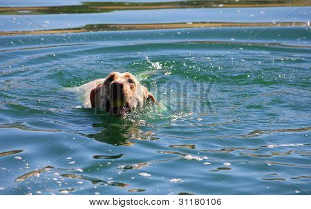 White Labrador Retriever Swimming With Tennis Ball