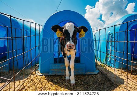 Young Calf In Blue Calf-house At Nursery.