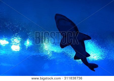 Silhouette Of Shark From Under Water To The Surface In An Aquarium Fish Tank