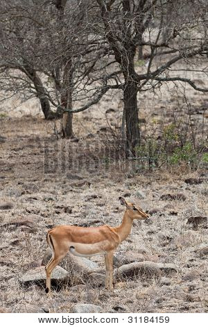 Grant's Gazelle Standing In A Dry Landscape