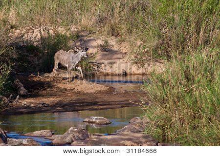 Kudu Animal Near A River Bed
