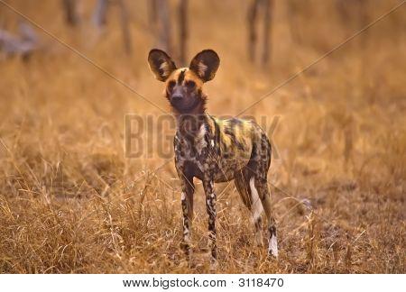 Afrika-Wild-Hund